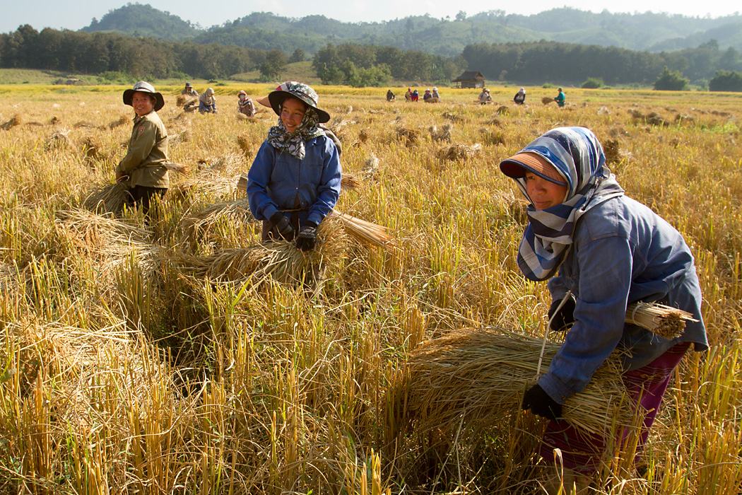 Rice harvest near Sayambouri, Laos