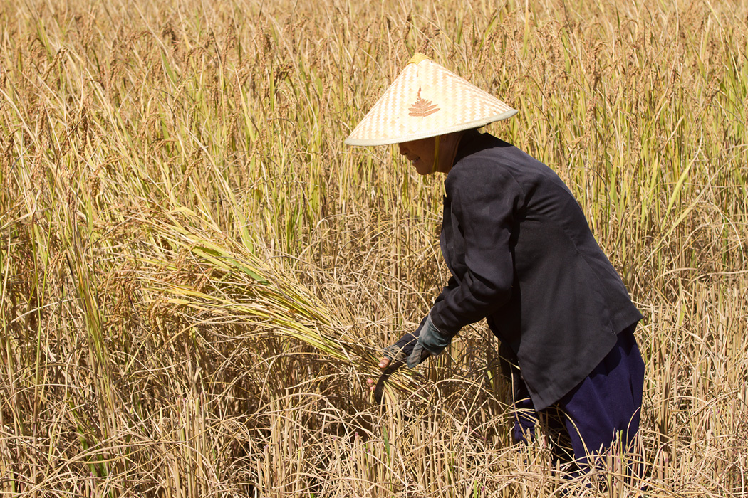 Rice harvest with a hand sickle