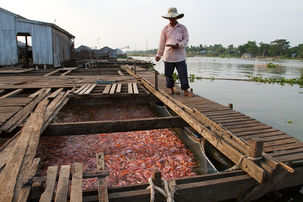 A man feeds the fish on a floating fish farm on the Hau River in An Giang province.