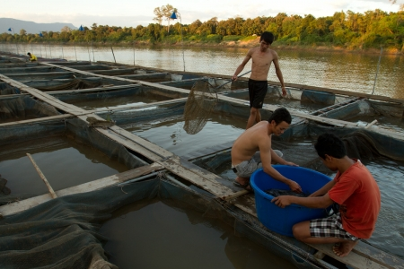Men pull mature fish out of a fish cage on a fish farm in the Sekong river.