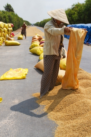 A woman pours rice onto the hot asphalt of the road to dry it.
